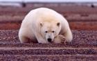 a polar bear lying down and facing camera