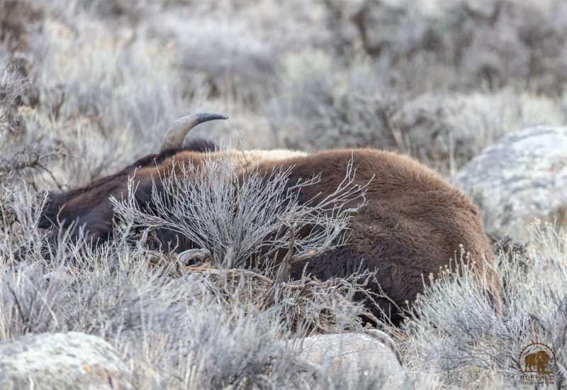 Bison Slaughter 2
