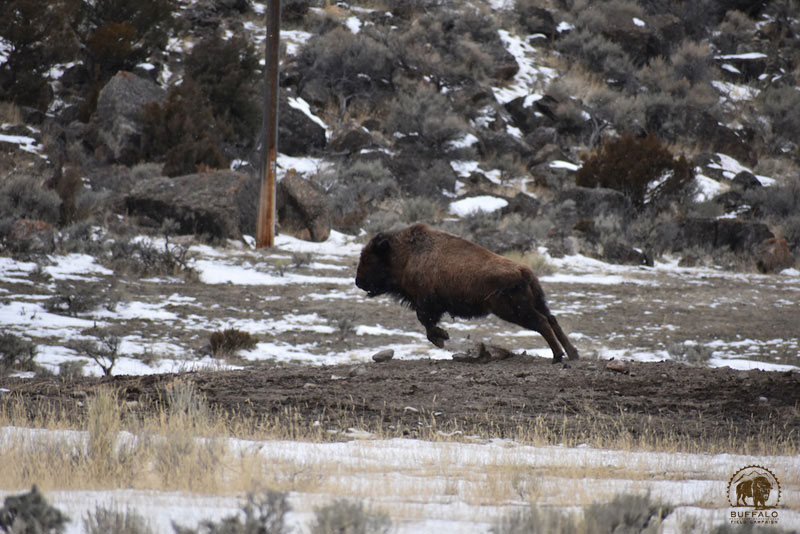 2018 03 08 02 003 Update3 Buffalo Field Campaign Stephany Seay photo 800