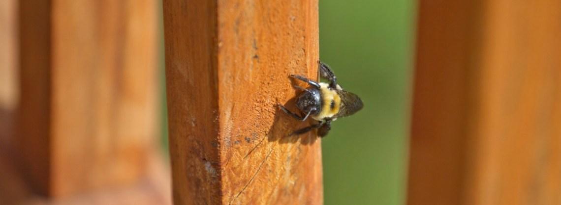 main_carpenter-bee-banner