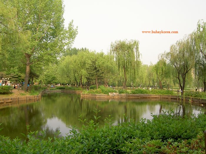 Willow trees ~