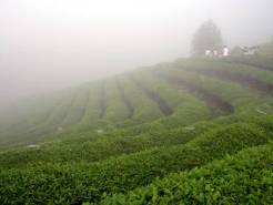 Foggy green tea plantation