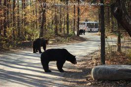 Bears at the Safari