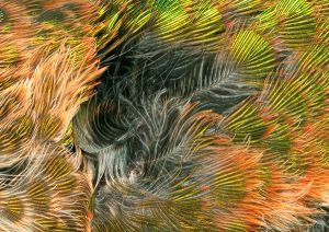 Hummingbird Breast