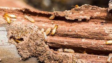 Photo of Faktor Biologis Kerusakan Kayu Akibat Serangan Organisme Perusak