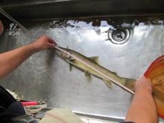 岩魚のサイズを計測