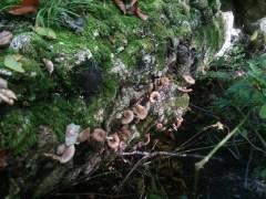 倒木に生えたナラタケモドキ