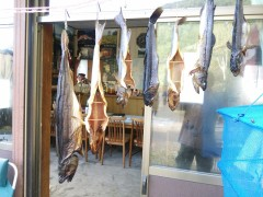 只見川本流で釣れたサクラマスと岩魚