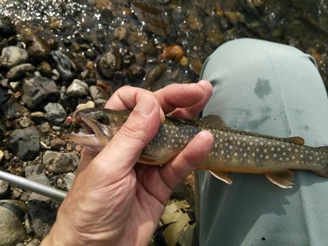 七入での今年初の獲物、放流物25cmの岩魚