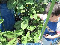 子供がなすの収穫