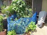 夏野菜が採り頃