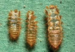 Figure 7 Cast Skins Of Varied Carpet Beetle Larvae