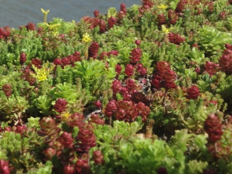 Red Sedum Planted as Part of a Green Roof