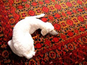 Carpet Fibers :: White Dog Laying on Red Wool Carpet