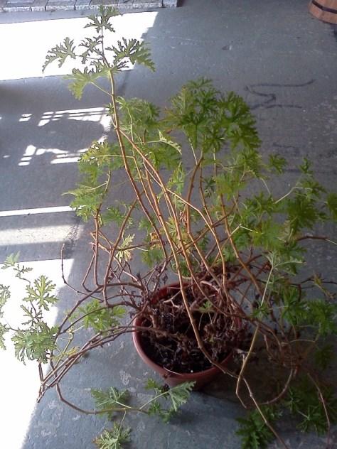 over grown scented geranium via Donna Dixson