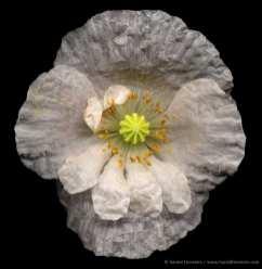Tissue Paper Poppy