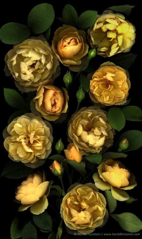 Robin's Roses