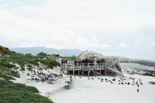 """Tourists observe and take pictures of African Penguins from a viewing platform for the Boulders Penguin Colony in Cape Town, South Africa on Saturday, August 31, 2013. The African Penguin, also known as the """"Jackass"""" Penguin for its braying vocalizations, is a critically endangered animal hurdling toward extinction. Their population declined 95 percent from the turn of the 20th century and a recent crash reduced their numbers from around 60,000 breeding pairs in 2000 to 25,000 pairs and dropping today. They face traditional threats from other land and sea animals, but human habitat encroachment and severe overfishing has led to unsustainable conditions for the species. Despite the efforts of many organizations that exist to conserve their existence and being beloved mascots and a popular tourist draw in Southern Africa where they are found, they face extinction much sooner than later."""