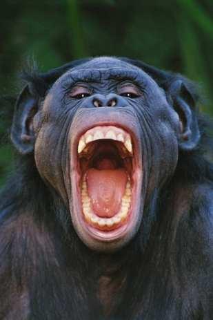 Bonobo Grinning, Congo ©Frans Lanting