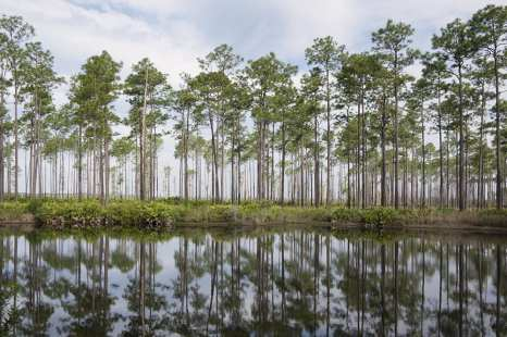 Tall Trees of Georgia ©Jeff Stoner