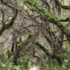 This is the main road on Cumberland Island and runs from Dungeness in the south to the northern end of the island. ©Jeff Stoner