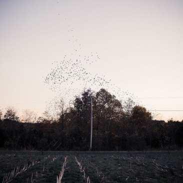 Starlings over field, Kentucky