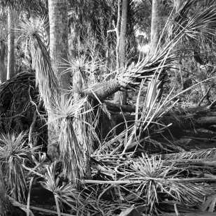 Fallen Yuccas and Palms, Unnamed Island