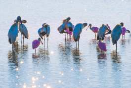 Ablutions: Wood storks and spoonbills in early morning light.