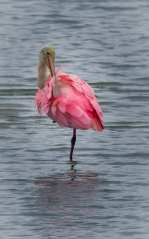 Girly Girl - Roseate spoonbill preening