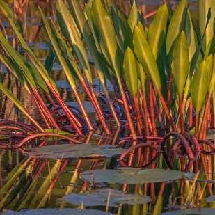 Never Wet Swamp Plant ©Lynne Buchanan