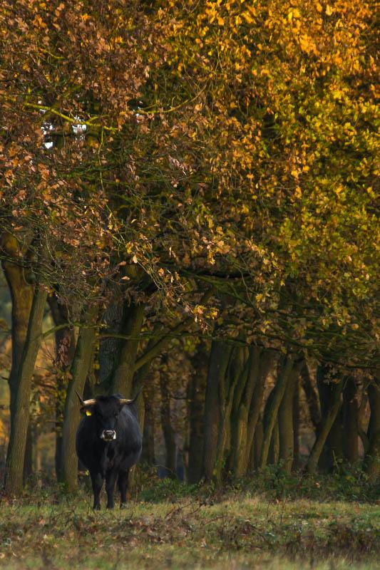 De taurossen lopen vrij in het begrazingsgebied.