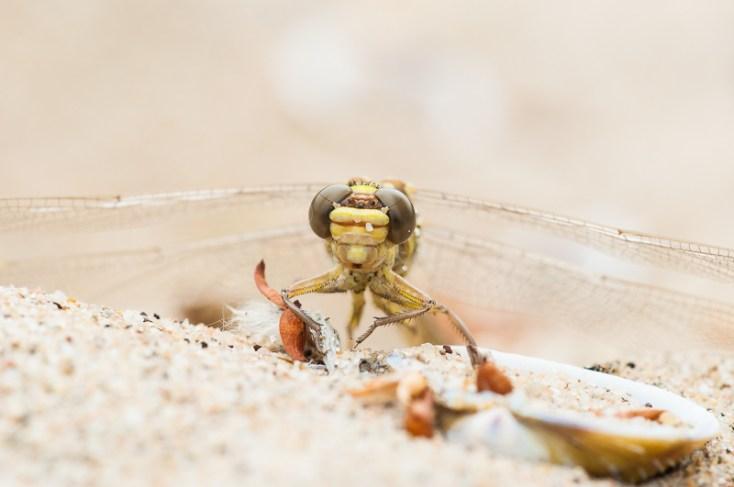5: Als de vleugels voldoende zijn uitgehard spreidt de volwassen libel zijn vleugels en vliegt weg.