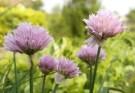 De bloemen van bieslook eten