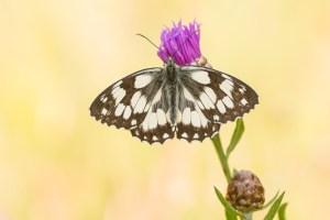 Read more about the article Het dambordje: een verloren soort?