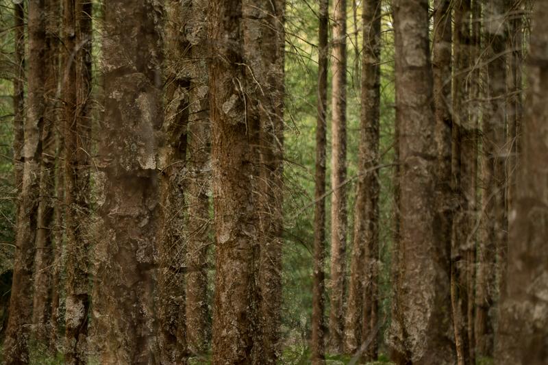 Dubbelopname 2: Een foto van de bomen gecombineerd met een foto van de schors. Het doet in mijn beleving een beetje schilderachtig aan.