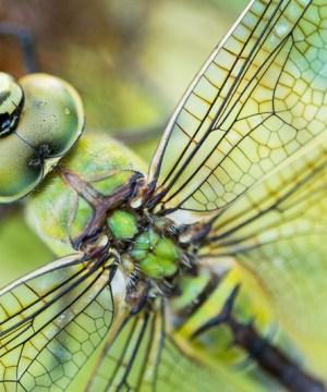Libellen fotograferen, zo doe je dat.
