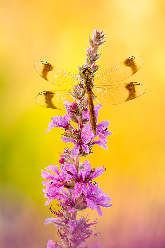's Morgens vroeg is de beste tijd om libellen te fotograferen. Niet alleen zitten ze dan stil, maar je hebt het mooiste licht en met een beetje geluk zitten de libellen nog onder de dauw.