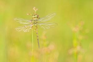 Lees meer over het artikel Glazenmakers en keizerlibellen fotograferen