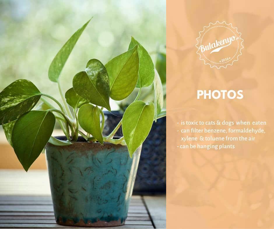 Top 7 Beautiful Indoor Plants for Plantitos and Plantitas 4