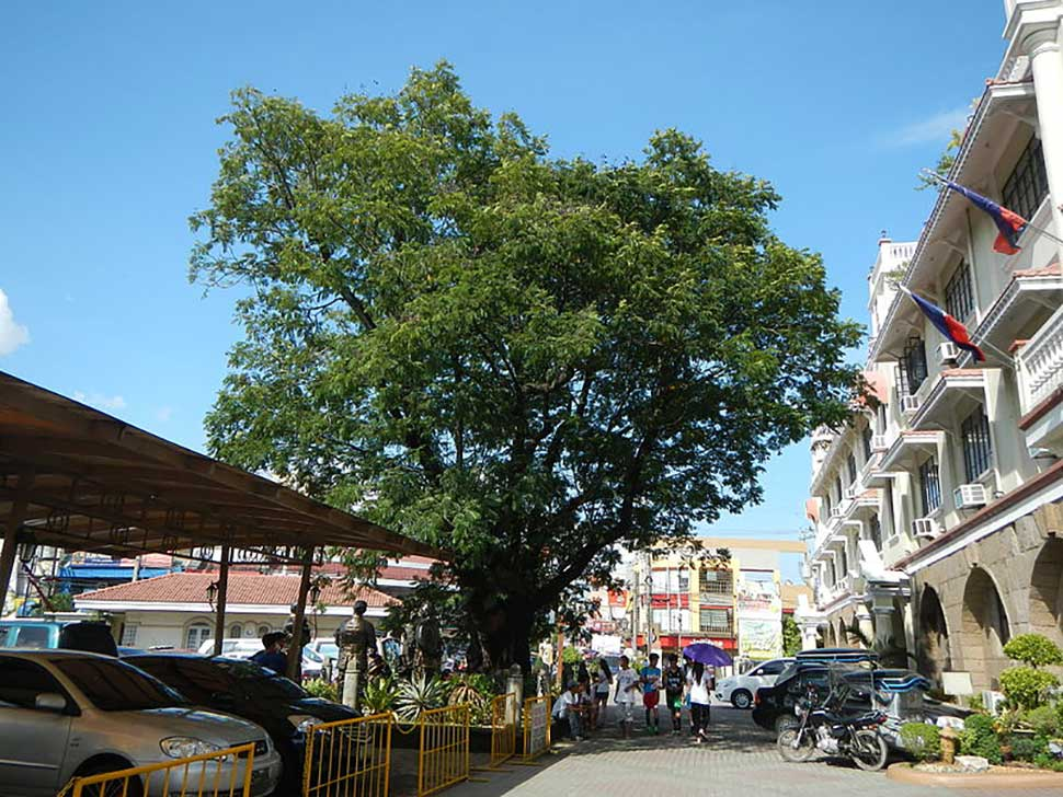 KALAYAAN TREE of Malolos: The Legendary 125 Year-Old Tree 1