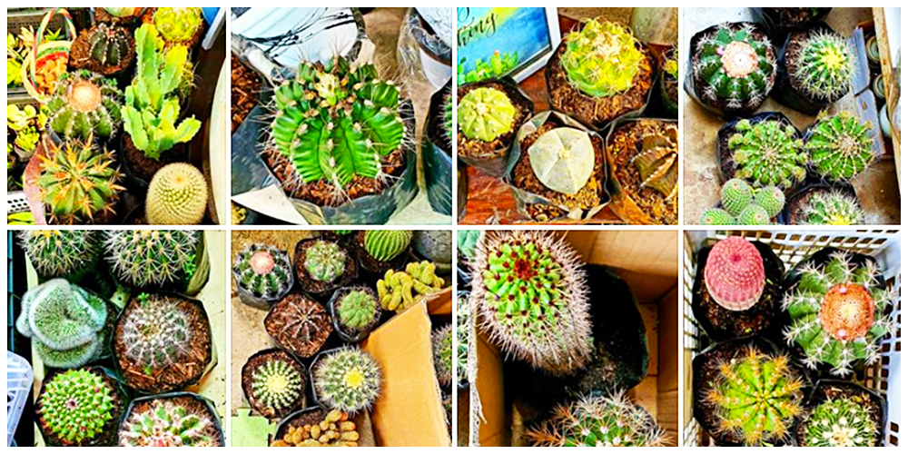 CNsaddict KatErin  - Cactus, Succulents and Indoor Plants in Bulacan