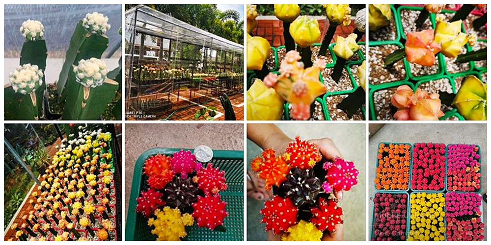 Lot Conquilla  - Cactus, Succulents and Indoor Plants in Bulacan