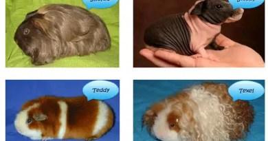 guinea pig ırkları