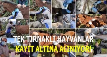 Tek Tırnaklı Hayvanlar Kayıt Altına Alınıyor!