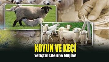 Koyun ve Keçi Yetiştiricilerine Müjde!