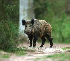 Дивата свиня (Sus scrofa) или евразийска дива свиня е бозайник от разред Чифтокопитни. Родоначалник е на домашната свиня. Достига дължина на тялото до 205 см, височина до 120 см и тегло до 350 кг. Има късо и масивно тяло, главата е голяма и масивна с голяма зурла, очите и са малки, с добре развити уши. Кучешките зъби (т. нар. глиги) у мъжкия (глиган) са силно развити и излизат извън устата, представлявайки добро средство за защита. Космената покривка представлява рядка и груба четина. През зимата между нея се развиват мека и гъста козина. Окраската варира от тъмнокафява до сива, индивидуално и в зависимост от географското разпространение. Среща се в Европа, Азия (с изключение на Сибир) и Северна Африка. Интродуцирана е в Северна (в началото на 20 век) и Южна Америка, Австралия, Нова Гвинея и Нова Зеландия. В България е разпространена из цялата страна. Дивата свиня е хищник който най-често се среща в горите. Дивото прасе е популярен ловен обект. Освен месото се използват мазнината и кожата. В някои райони нанася щети на зеленчуковите и житните култури.