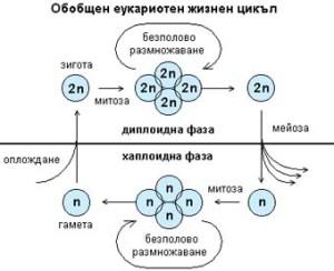 Всеки вид организми има свои отличителни белези, следователно - своя специфична генетична програма, която е поместена в специфичен брой хромозоми със свое характерно устройство. Хромозомният набор или кариотип при нормални телесни клетки се състои от двойки еднакви хромозоми (хомоложни хромозоми), тъй като в зиготата са се събрали бащиният и майчиният хромозомен набор, съответно от сперматозоида и яйцеклетката. Двойният хромозомен набор се нарича диплоиден (2n). В половите клетки хромозомният набор е единичен хаплоиден, (n). По време на интерфазата, предхождаща същинското клетъчно делене, се извършва процесът репликация. Удвоява се количеството на генетичния материал.