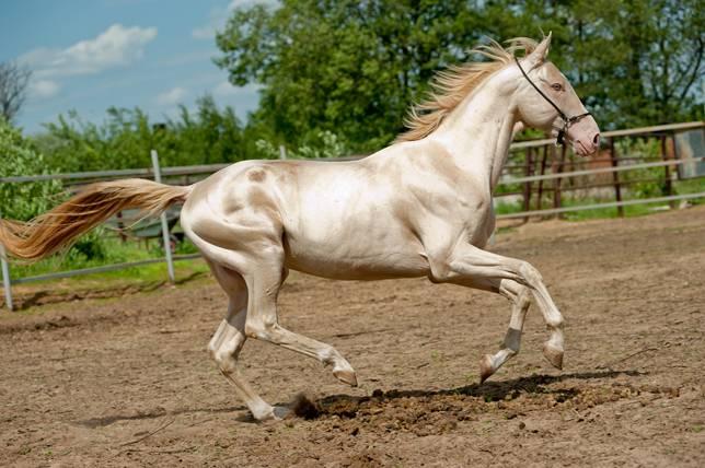 """""""Златният"""" кон на пустинята – Ахал-Теке"""