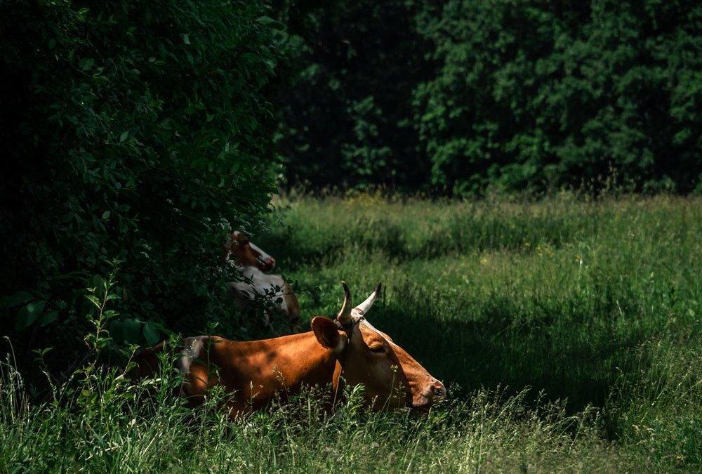 Тайният живот на кравите