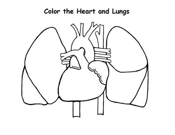 99 ideas Heart Anatomy Coloring Pages on kankanwzcom